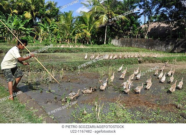 Ubud (Bali, Indonesia): a ducks shepherd in a paddy