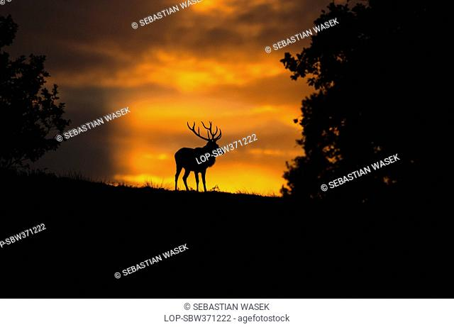 England, Leicestershire, Bradgate Park. Silhouette of a Red Deer Cervus elaphus at sunset in Bradgate Country Park, Leicestershires largest and most visited...