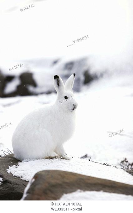 Adult Arctic Hare (Lepus arcticus) near Churchill, Manitoba, Canada