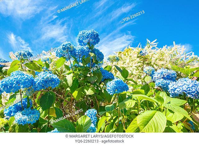 Beautiful blue hydrangeas against blue sky on a lovely sunny day