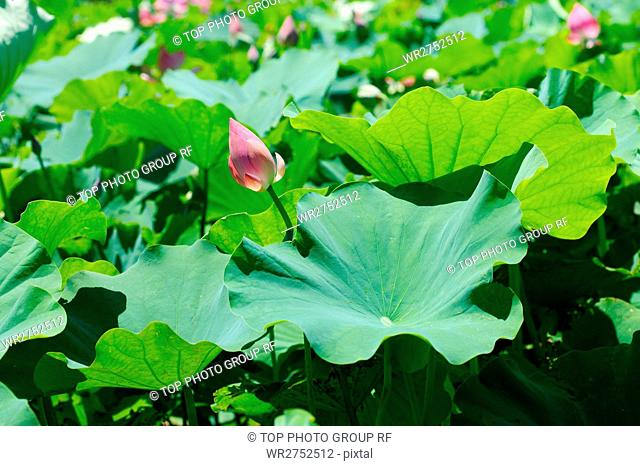 Lotus Flower Field Stock Photos And Images Age Fotostock