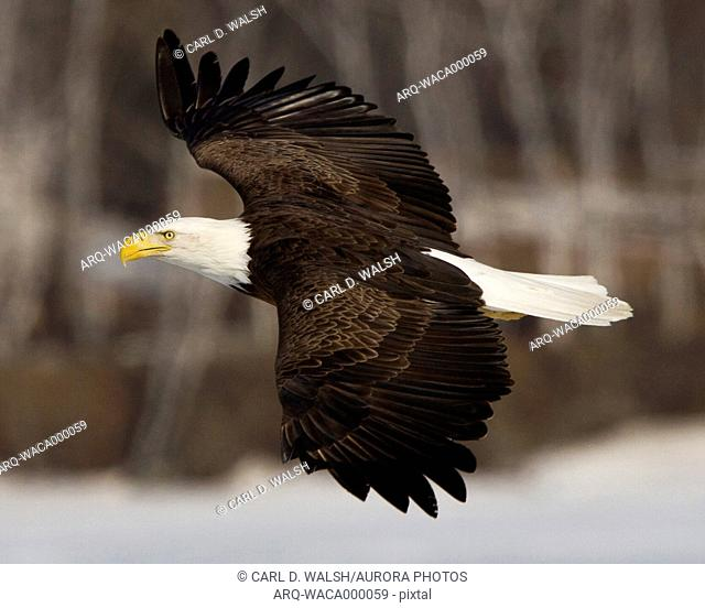 A bald eagle soars above the ice of a central Maine lake