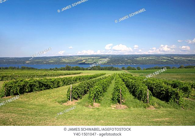 Grape vineyards on west side of Seneca Lake at Glenora Winery in the Finger Lakes region of New York State