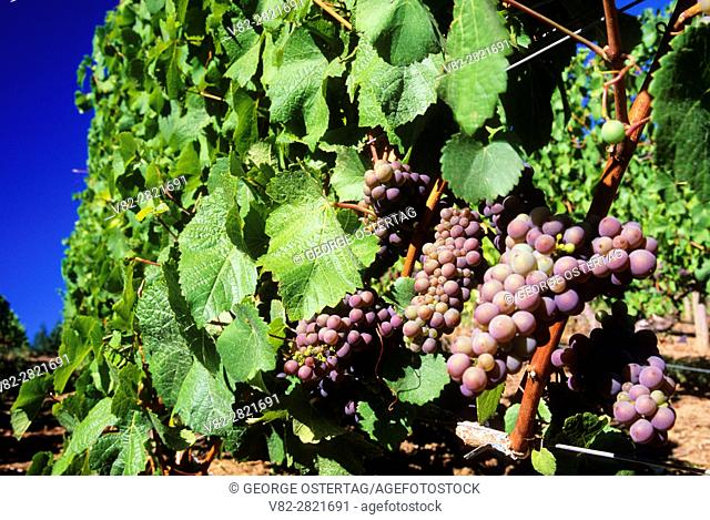 Wine grapes, Yamhill County, Oregon