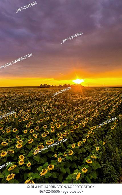 Sunflower fields, near Goodland, Western Kansas USA