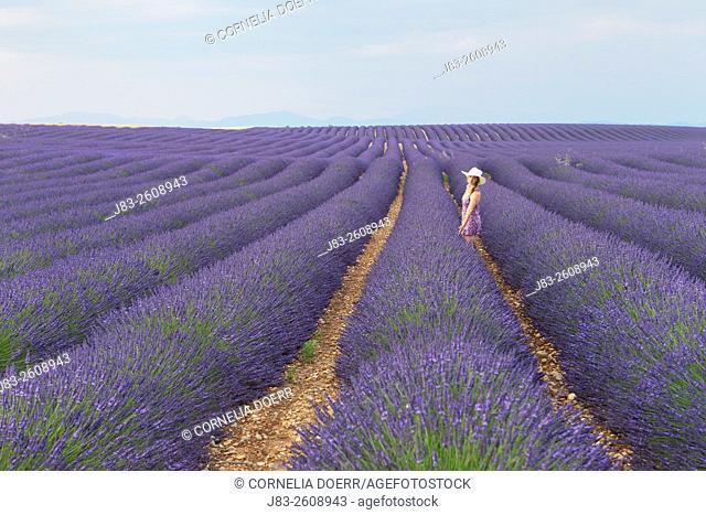 Woman in Lavender field (Lavendula augustifolia), Valensole, Plateau de Valensole, Alpes-de-Haute-Provence, Provence-Alpes-Cote d'Azur, Provence, France