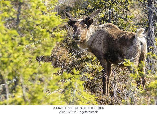 Reindeer, Rangifer tarandus standing and looking in to the camera, Gällivare county, Swedish Lapland, Sweden