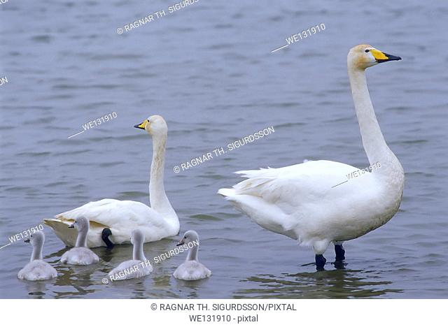 Swans with their young- cygnets, Iceland
