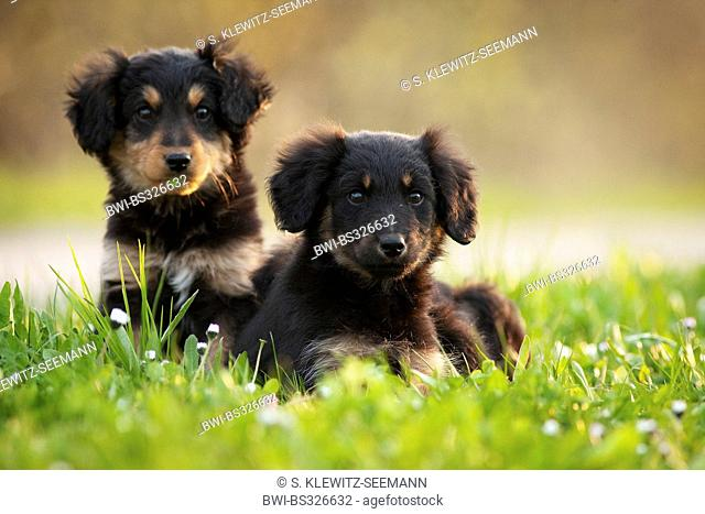 mixed breed dog (Canis lupus f. familiaris), three whelps lying in a meadow side by side, mix breed dog of Old German Sheepdog and dachshund, Germany
