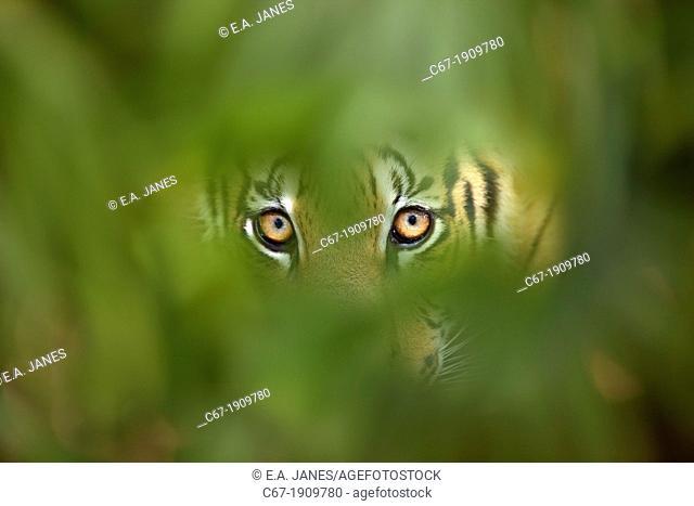 Bengal Tiger Panthera tigris tigris CAPTIVE