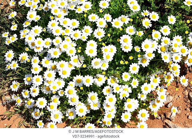 Seaside chamomile (Anthemis maritima) is a perennial herb native to western Mediterranean Basin. This photo was taken in Cala Morell, Menorca, Balearic Islands
