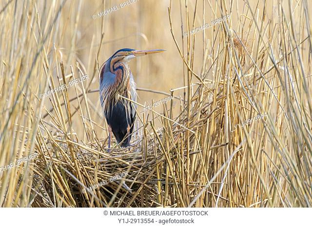 Purple Heron (Ardea purpurea) on nest, Germany, Europe