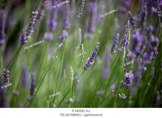 Lavender in flower in summertime, Lavandula angustifolia