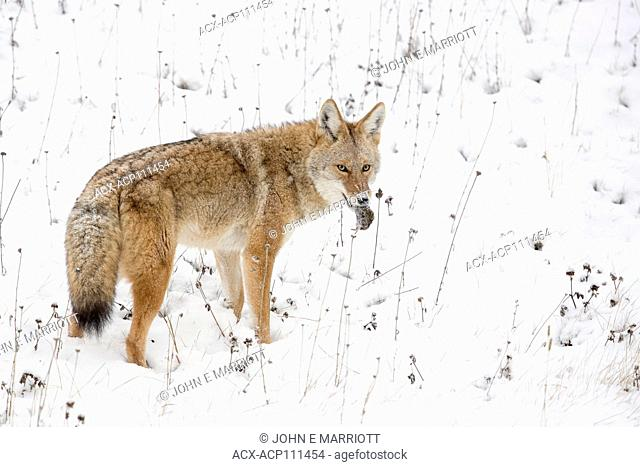 Coyote mousing in Banff National Park, Alberta, Canada