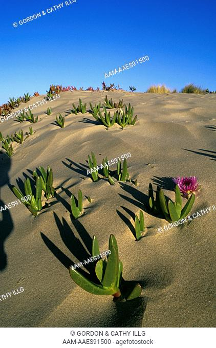 Sea Fig in Bloom on Sand Dune (Carpobrotus sp.), Pismo State Beach, CA