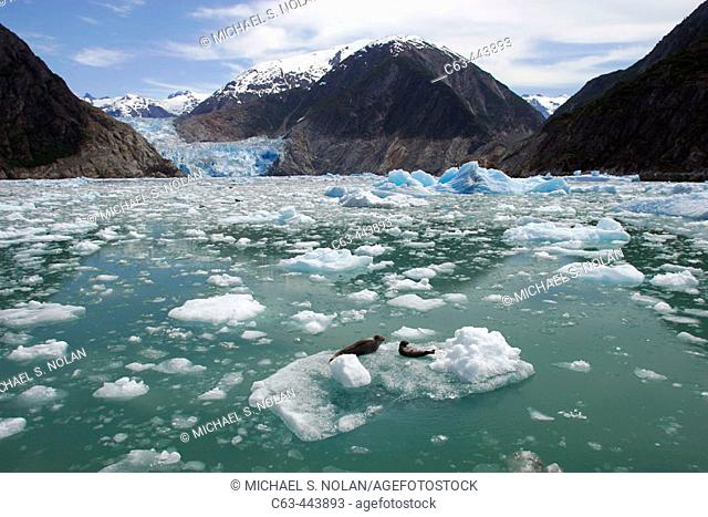 The Sawyer Glacier, with a mother and pup hauled out near a tidewater glacier at the end of Tracy Arm in Southeast Alaska, USA