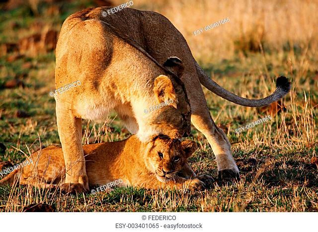 Lioness reproaching cub n.1