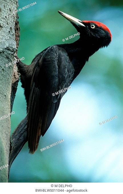 black woodpecker Dryocopus martius, sitting at a trunk, Germany, Hesse, Gudensberg