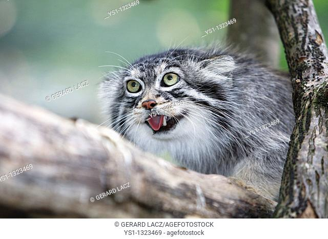 MANUL OR PALLAS'S CAT otocolobus manul, ADULTY GROWLING