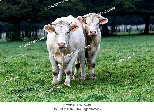 France, Haute Saone, Montbozon, Charolais cow