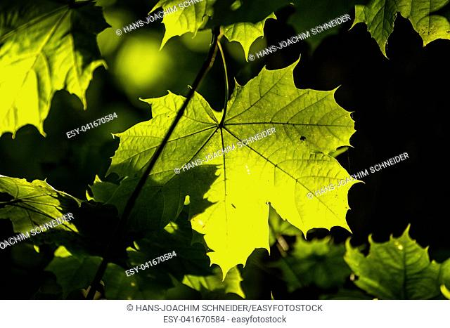 maple leaf in autumnal colors in back-light