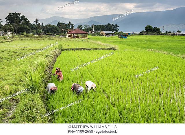 Women working in rice paddy fields at Lake Toba (Danau Toba), North Sumatra, Indonesia, Southeast Asia, Asia