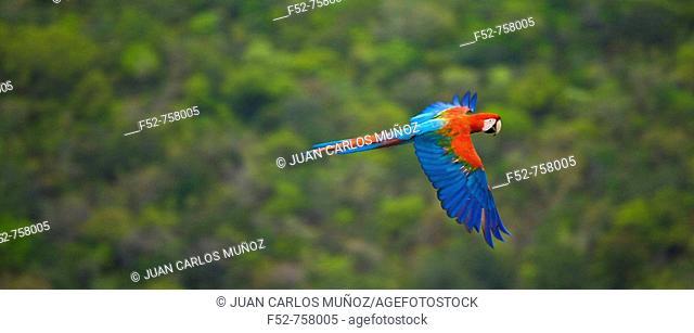 Green-winged Macaw (Ara chloroptera), Pantanal Conservation Area, Brazil
