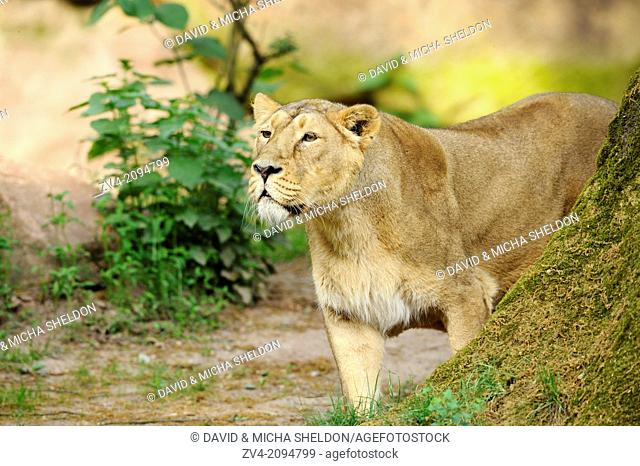 Close-up of a Asiatic lion or Indian lion (Panthera leo persica) in a zoo