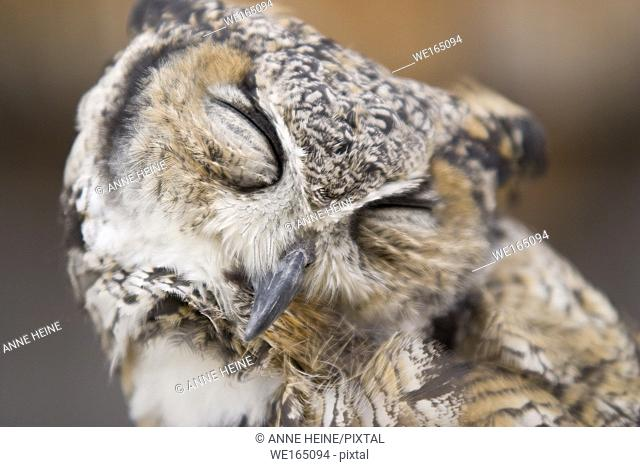 Portrait of great horned owl (captive), eyes closed. Shown by a falconer in Canmore, Alberta, Canada
