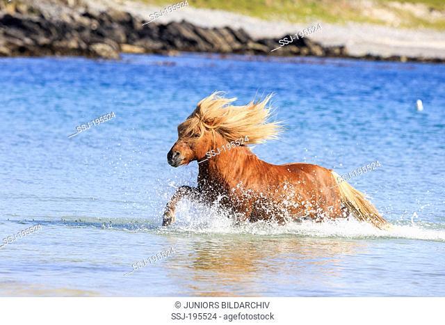 Shetland Pony. Chestnut stallion trotting in the sea. Burra, Shetlands