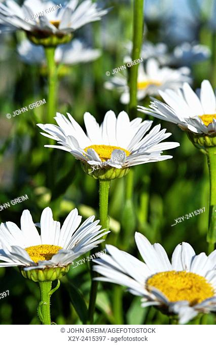 Field of Common Daisies