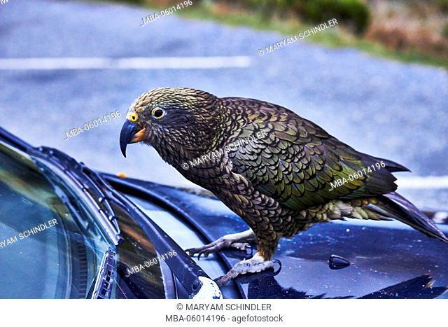 New Zealand, south island, Kea, mountain parrot examines car curious