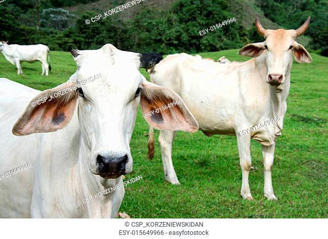 Zebu cow cattle