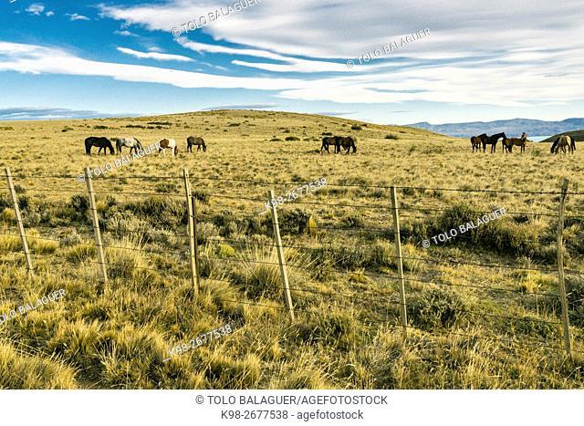 caballos junto a una pista de ripio, el Calafate, republica Argentina,Patagonia, cono sur, South America