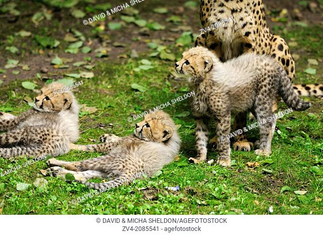 Close-up of three cheetah (Acinonyx jubatus) cubs on a meadow in a zoo, Germany