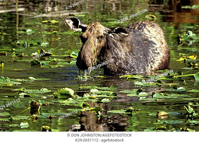 Moose (Alces alces) Cow moose feeding in pond, Grand Teton National Park, Wyoming, USA