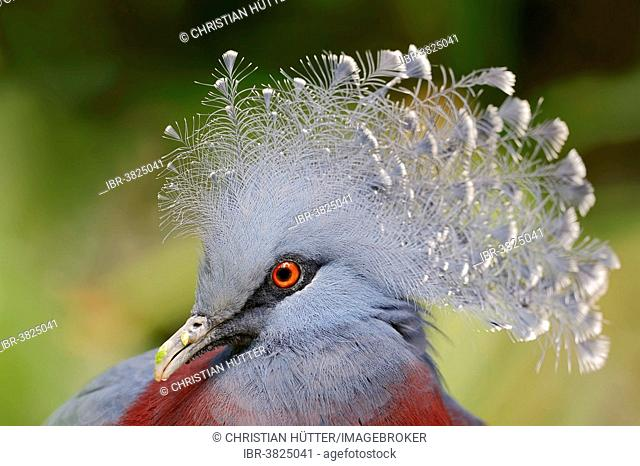 Victoria Crowned Pigeon (Goura victoria), portrait, native to New Guinea, captive, Germany