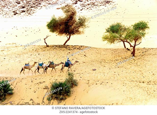 Egyptian man with camels - Aswan, Upper Egypt