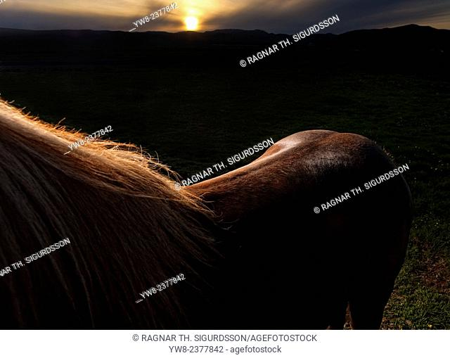 Rim light on brown Icelandic Horse, Iceland