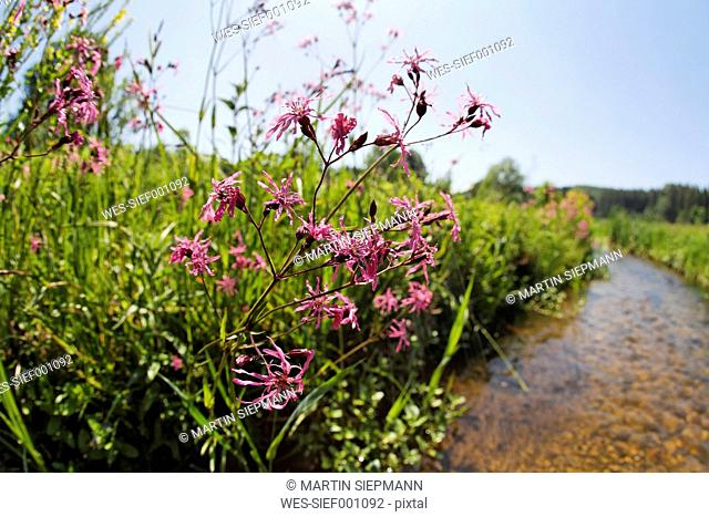 Germany, Bavaria, View of cuckoo flower