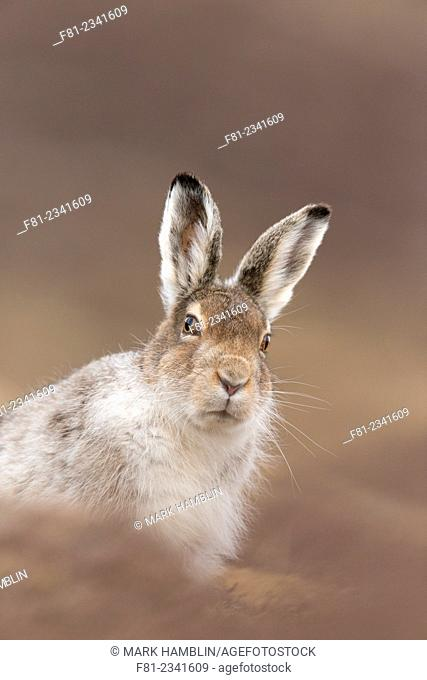 Mountain Hare (Lepus timidus) adult in spring coat sitting on moorland