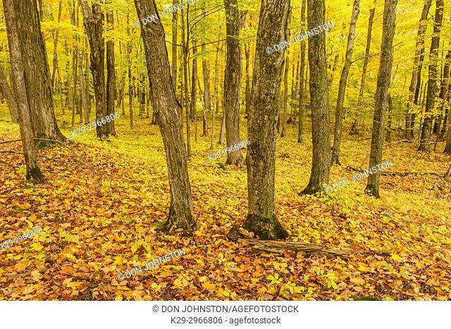 Inside an autumn woodland, Perivale, Manitoulin Island, Ontario, Canada