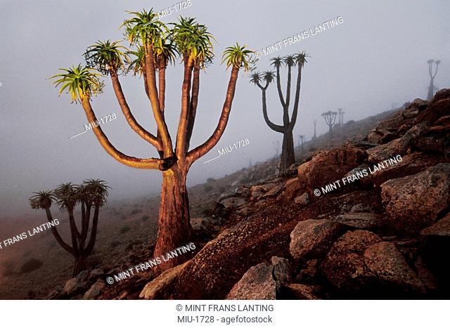 Endangered Giant tree aloes, Aloe pillansii, Richtersveld National Park, South Africa