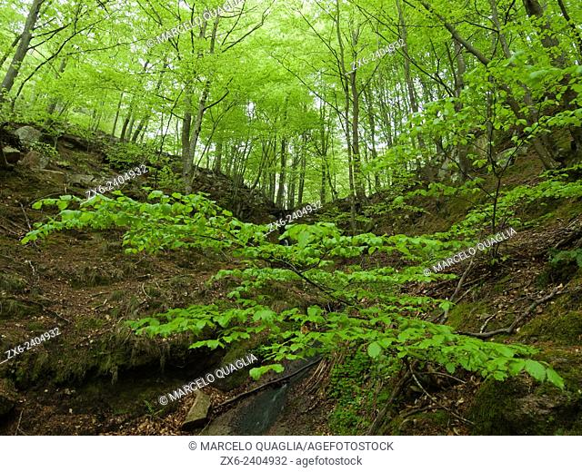 Beech forest at springtime (Fagus sylvatica). Montseny Natural Park. Barcelona province, Catalonia, Spain