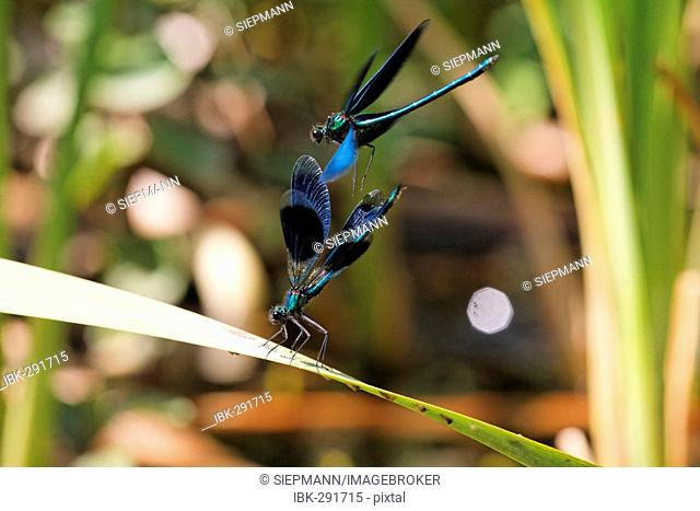Banded demoiselle, male, Calopteryx splendens and beautiful demoiselle, male flying, Calopteryx splendens