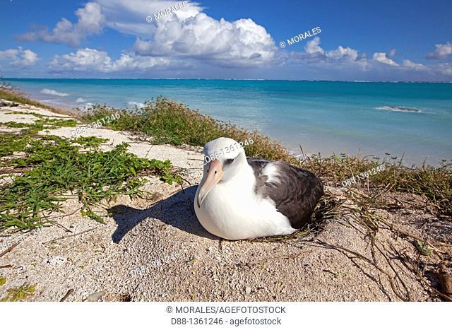 Laysan Albatross (Phoebastria immutabilis), Midway Atoll National Wildlife Refuge, Eastern Island, Hawaii, USA