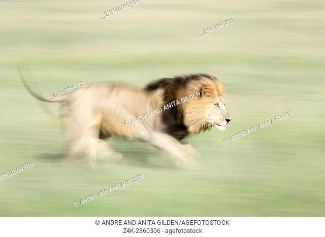 Male African Lion (Panthera leo) running with motion blur on savanna, Masai Mara National Reserve, Kenya, Africa