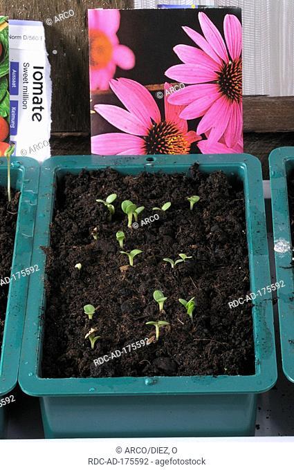Seedlings from Purple Cone Flower, Echinacea purpurea, Rudbeckia purpurea