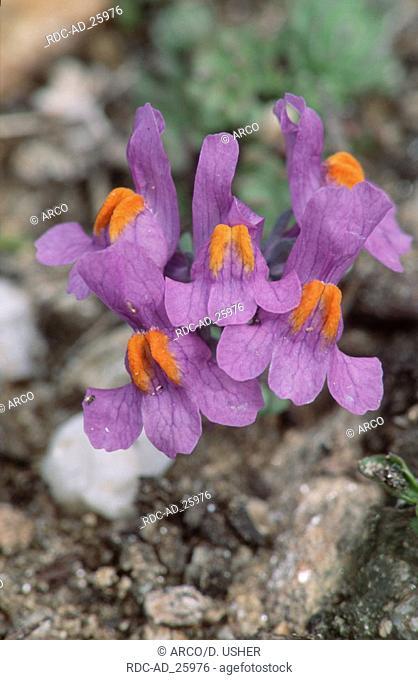 Common Toadflax Austria Linaria vulgaris