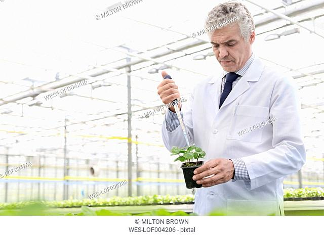 Scientist in greenhouse pipetting plant